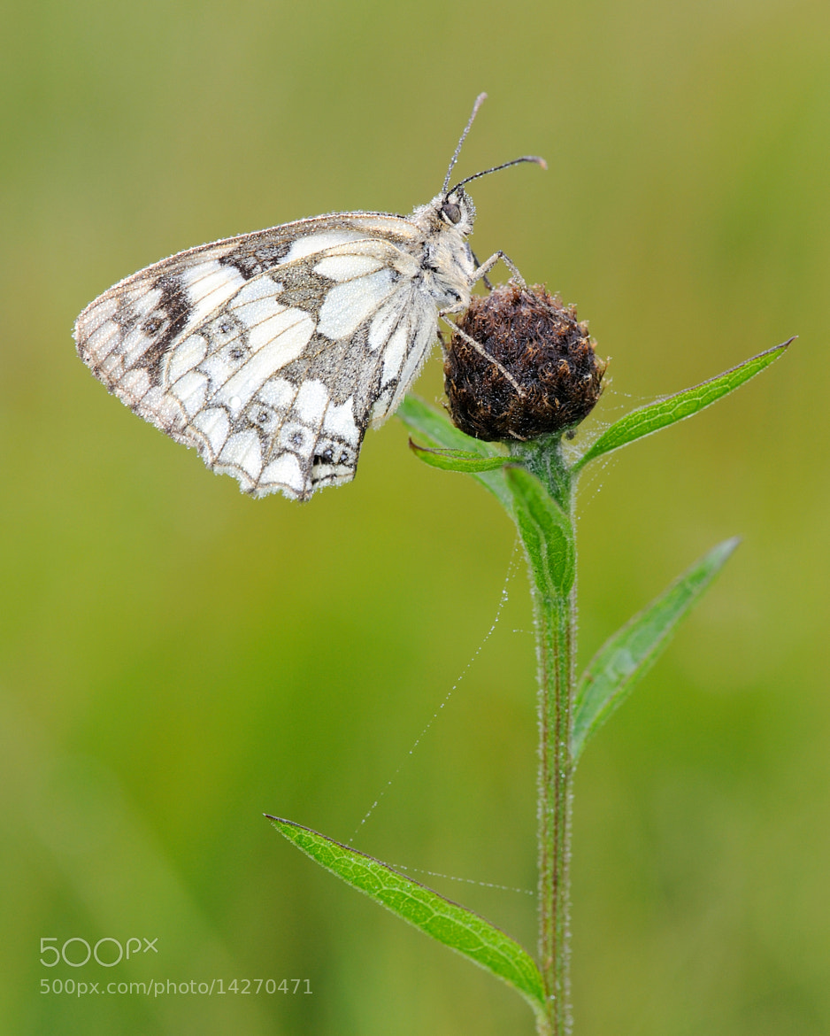 Photograph Marbled white Butterfly by Kevin  Keatley on 500px