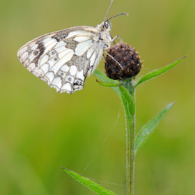 Marbled white Butterfly by Kevin  Keatley (kevinkeatley)) on 500px.com