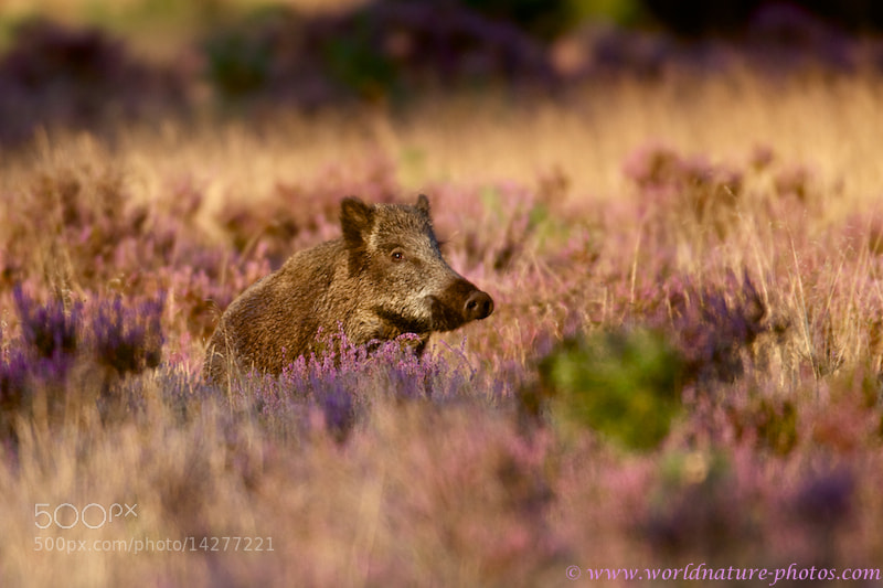 Photograph Wild Boar by Ronald Krieger on 500px