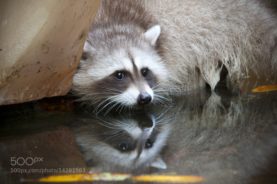 Spirit/ghost/blonde Raccoon Digging underneath a piece of Resin sculpture