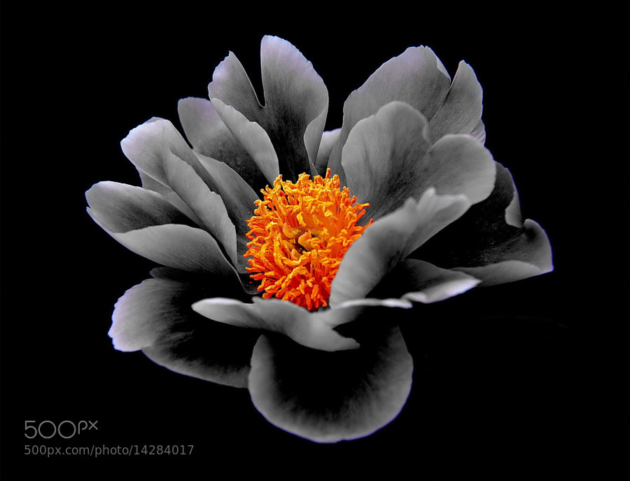 Photograph Black Peony by AZ Imaging on 500px