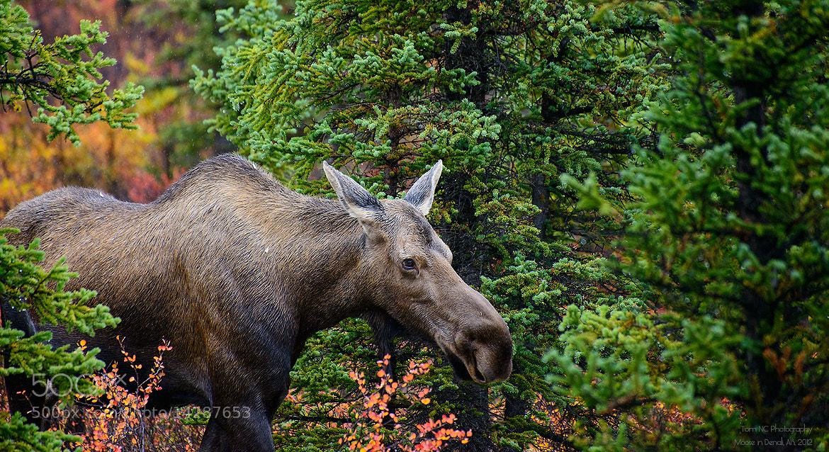 "Photograph Moose Ahead! by Noppawat ""Tom"" Charoensinphon on 500px"