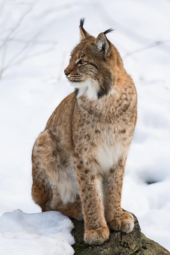 Lynx By Standa Michálek / 500px