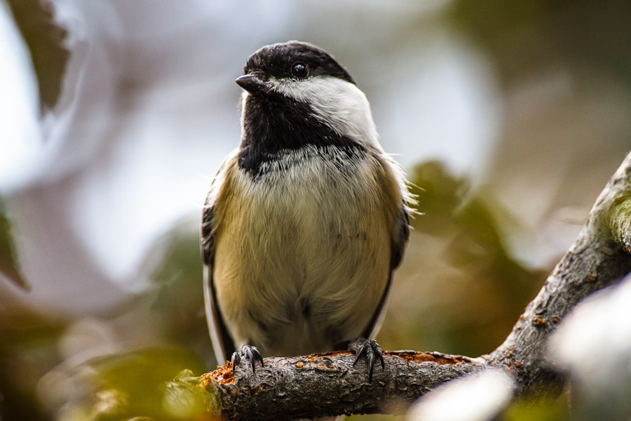 Photograph .: Plum Chickadee :. by Jon Rista on 500px