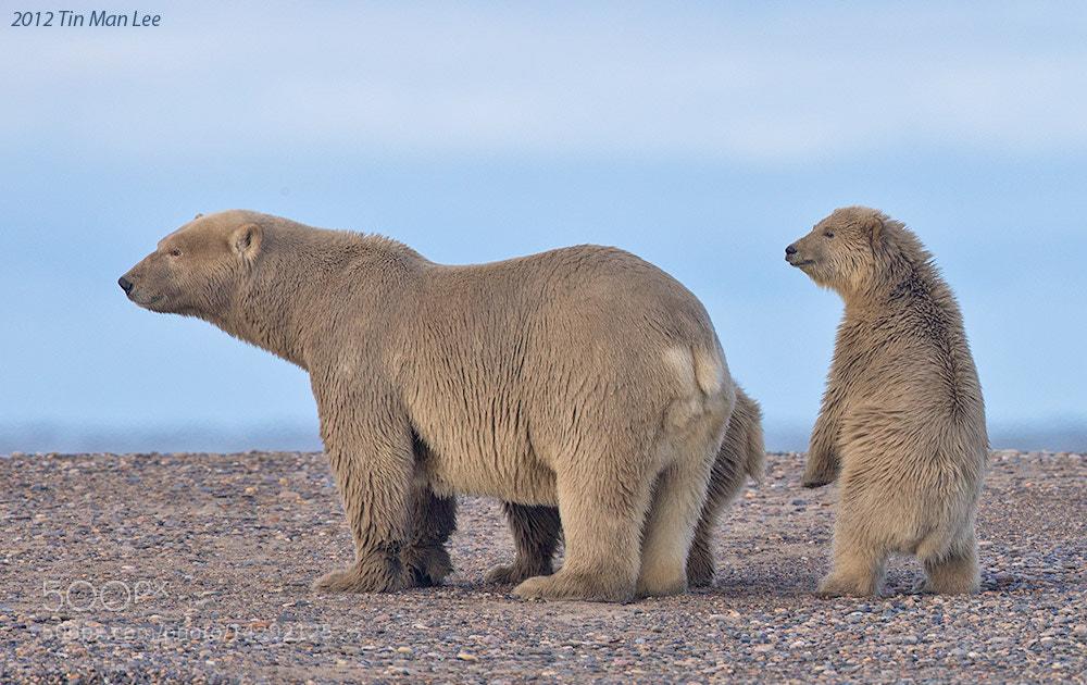 Photograph Polar Bear with Cub by Tin Man on 500px