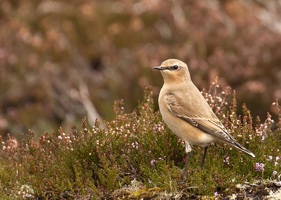 Photograph Wheatear by David Barnes on 500px