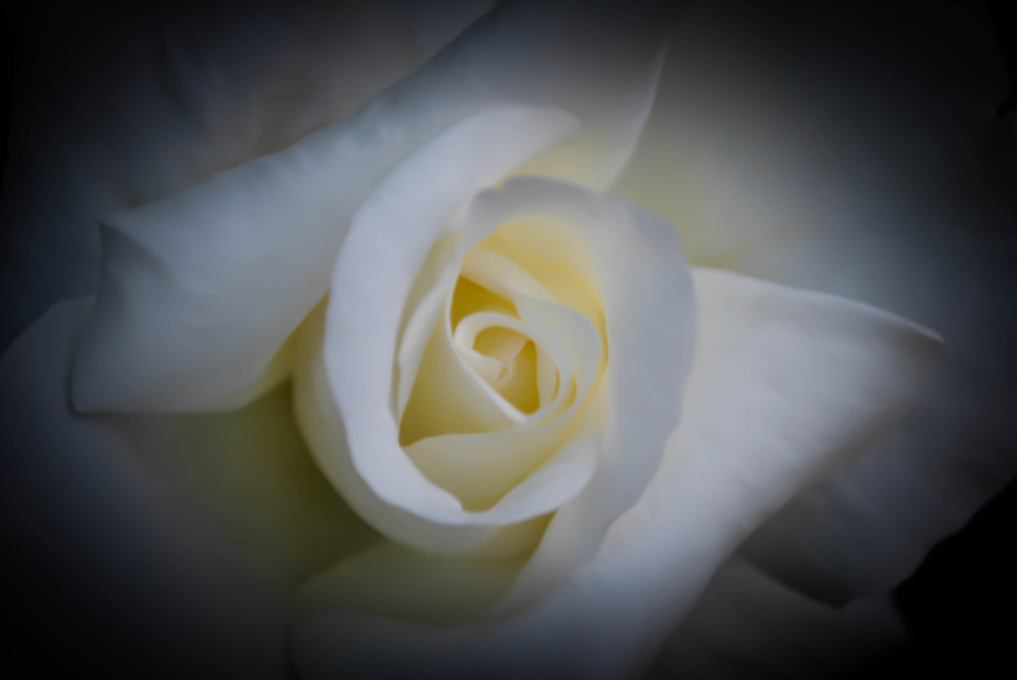 Photograph White Rose by Marcus Corbin on 500px