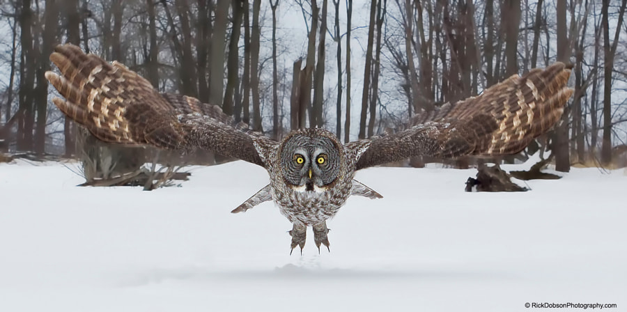 Great Grey Owl Head-on by Rick Dobson on 500px.com