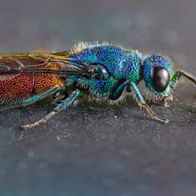 ruby-tailed wasp (goldwespe)