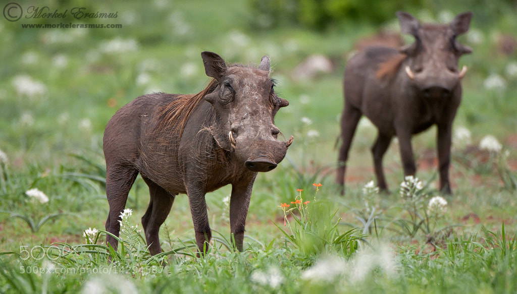 Photograph Double Pumbaa by Morkel Erasmus on 500px