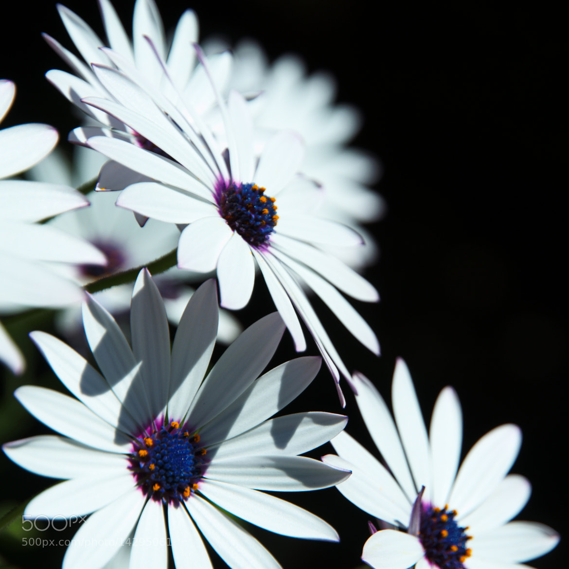 Photograph White daisies on black by Lorenzo Cupellini on 500px