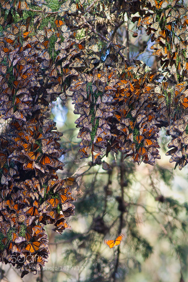 Photograph Monarchs Butterflies by Jean-Edouard Rozey on 500px
