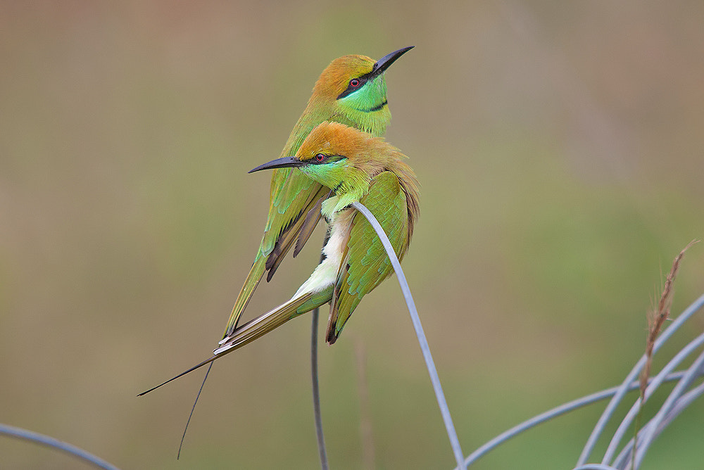 Photograph Green Bee-eaters by Girish Prahalad on 500px
