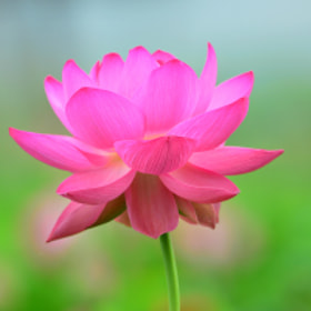 Lotus Flower by Young Sung Bae (ysbae491)) on 500px.com