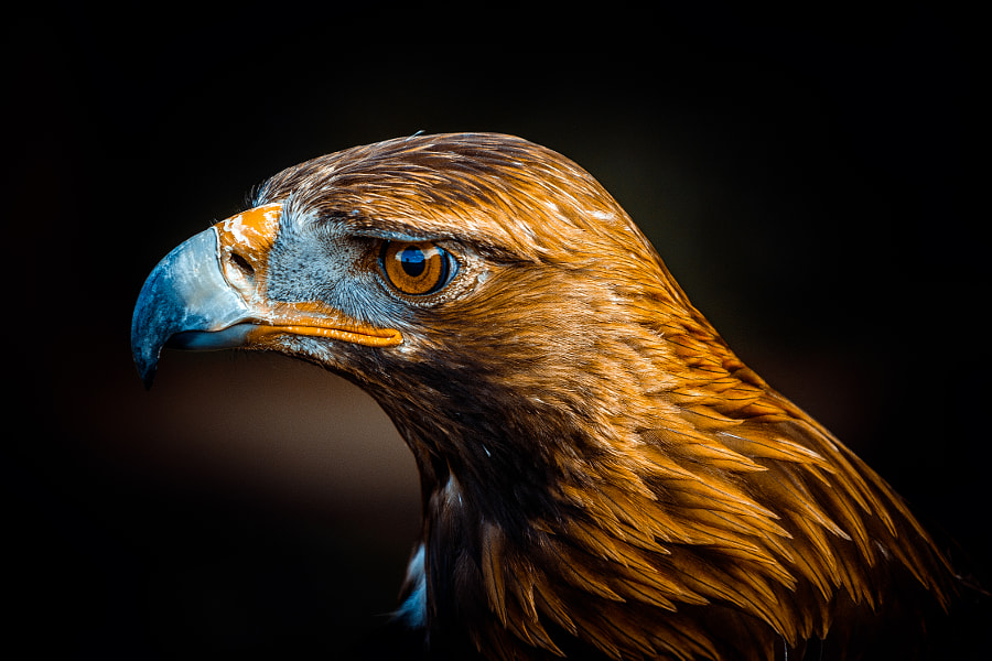 Golden Eagle Portrait I by Pedro Cunha on 500px.com