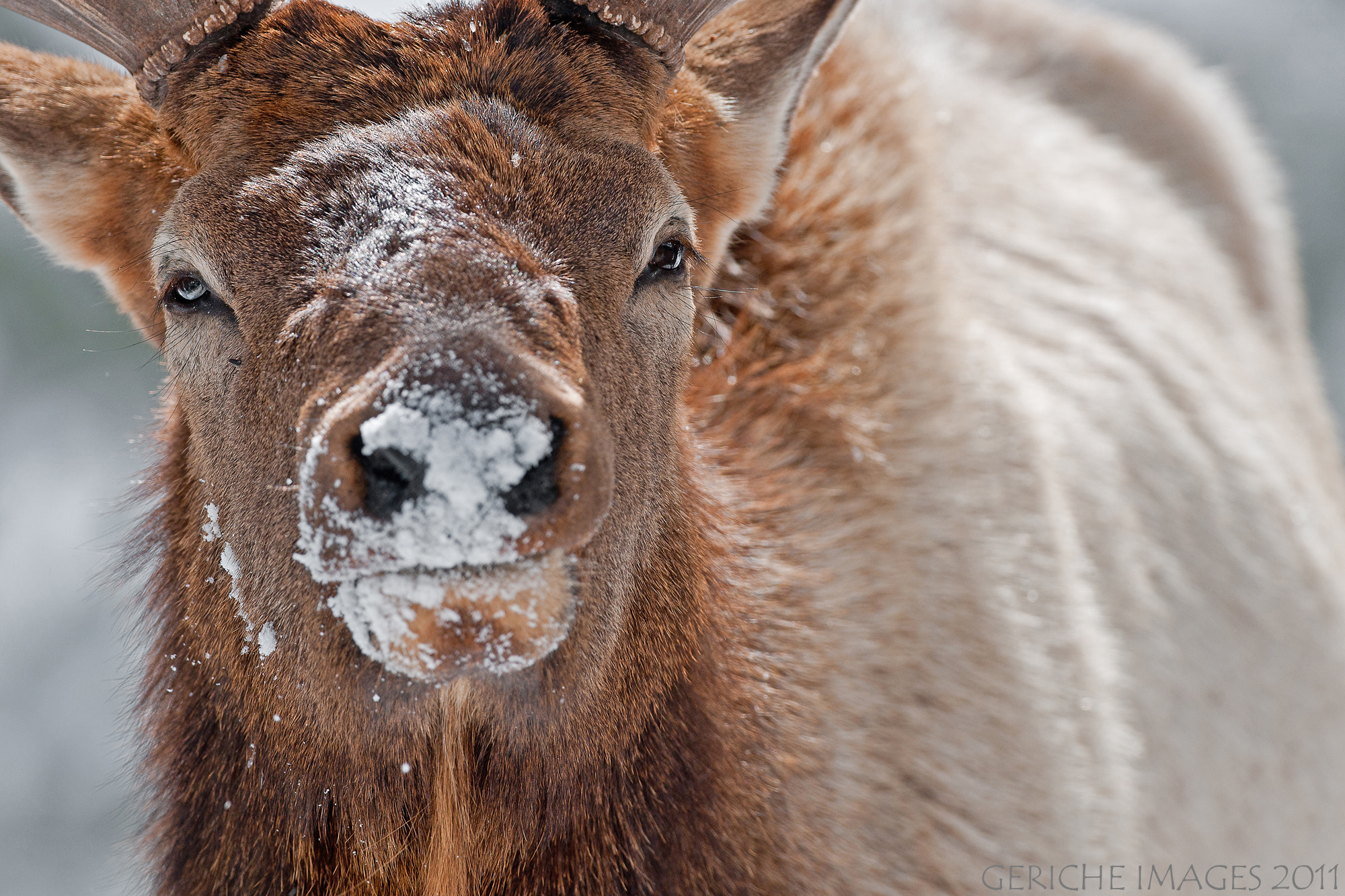 Photograph Bull Elk by Geriche  Images on 500px