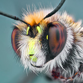 Shaggy Bee by Omid Golzar (pinar)) on 500px.com