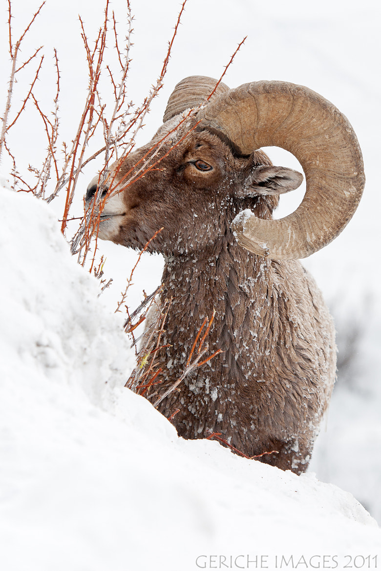 Photograph Big Horn Ram - old guy by Geriche  Images on 500px