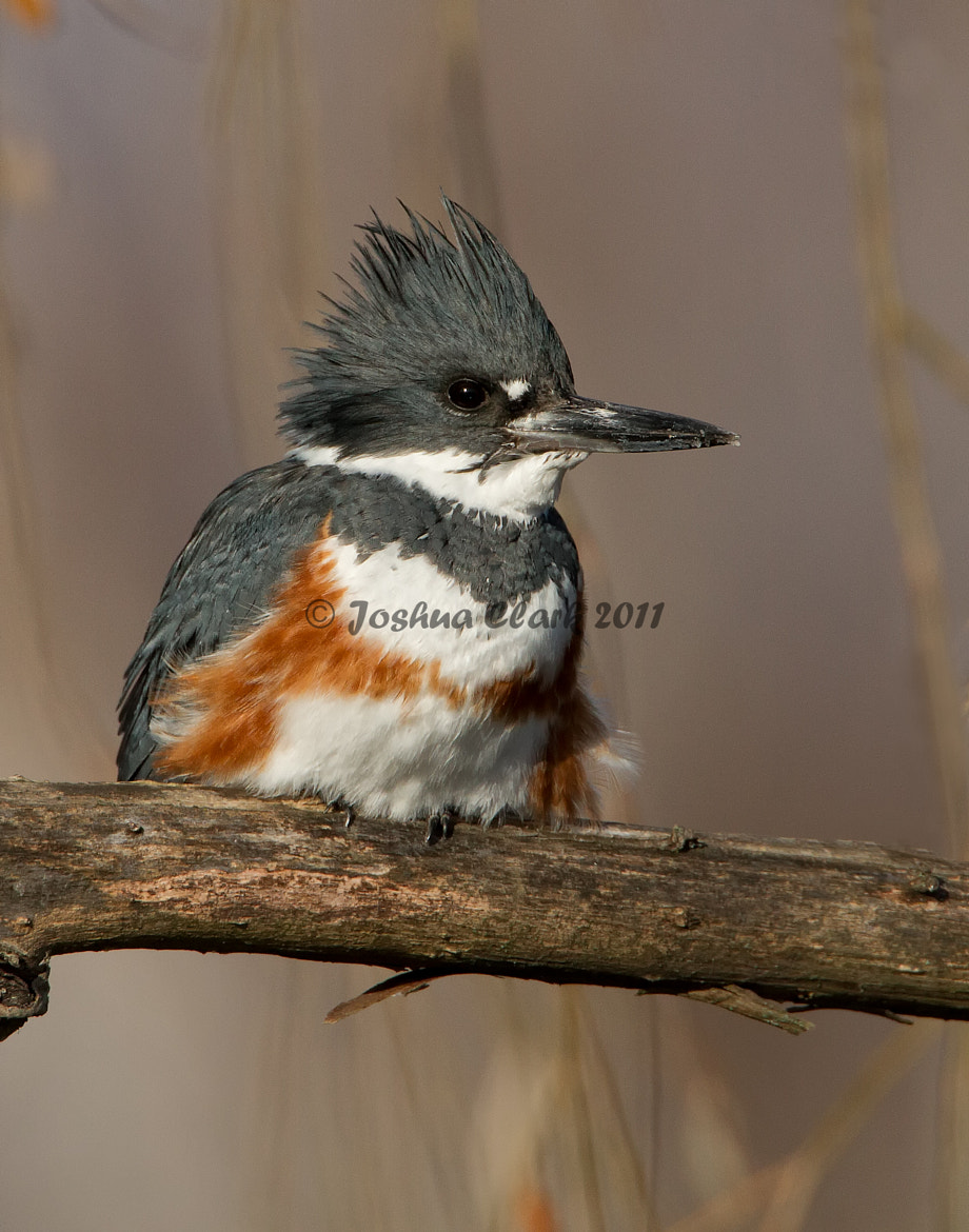 Photograph Belted Kingfisher by Joshua Clark on 500px