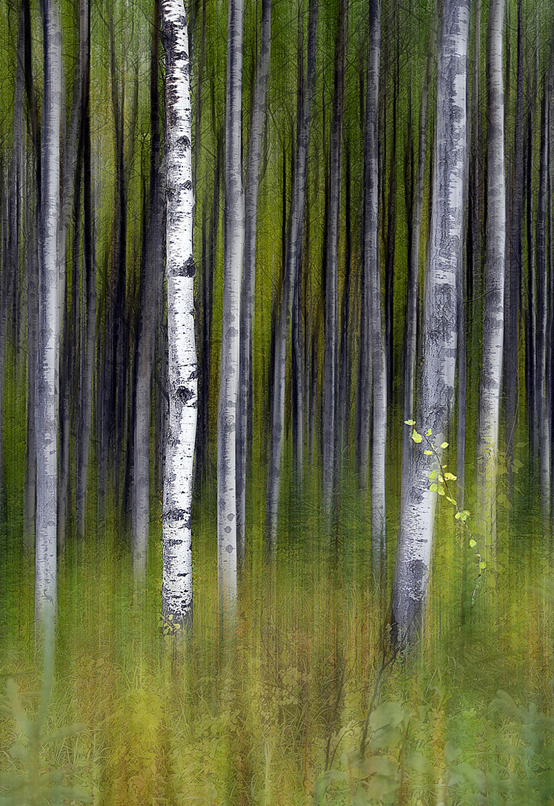 Photograph Aspen forest by Trevor Wain on 500px