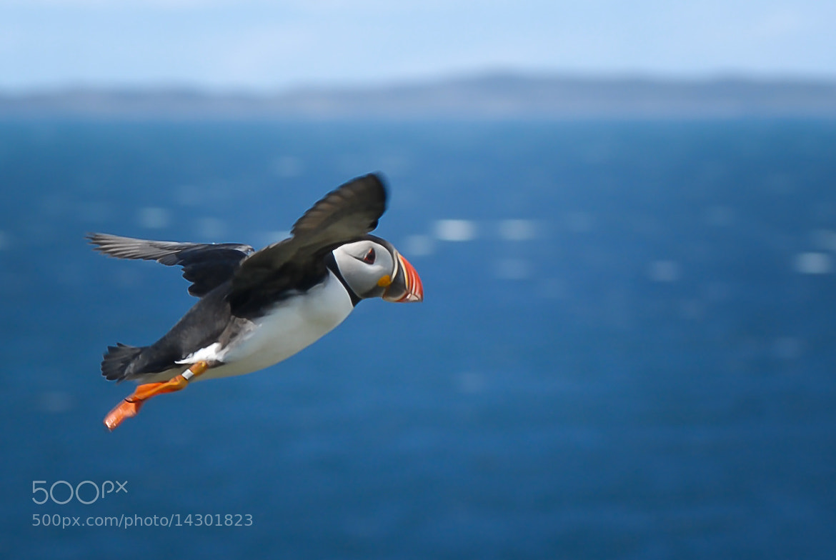 Photograph Puffin In Flight by Harry Fleming on 500px