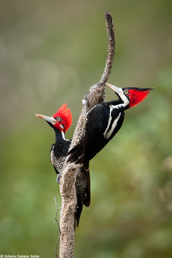 Photograph Crimson-crested Woodpecker (Campephilus melanoleucus) by Octavio Campos Salles on 500px
