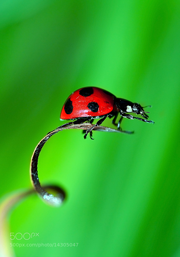 Photograph ...LadyBug... by Bu Balus on 500px