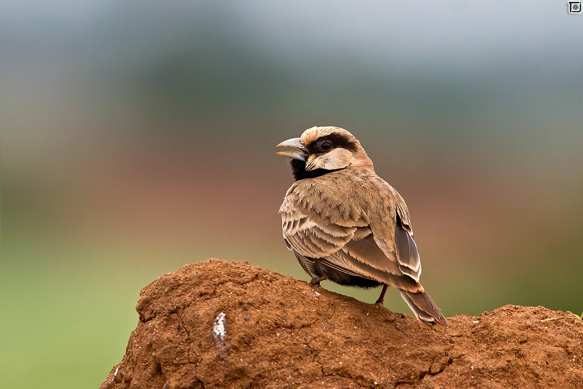 Photograph Ashy-crowned Sparrow-Lark by Thejaswi GVN on 500px