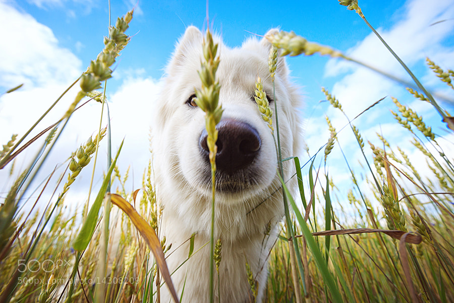 Photograph Samoyed by Druvo Art on 500px