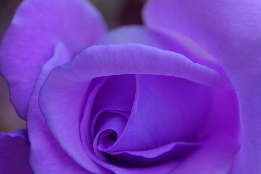 ROSE by Yako Laverde on 500px.com