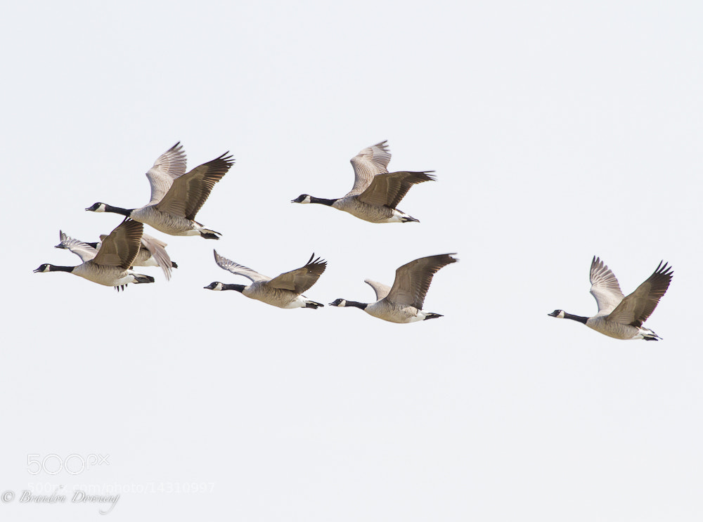 Photograph Canadian Geese In Formation by Brandon Downing on 500px