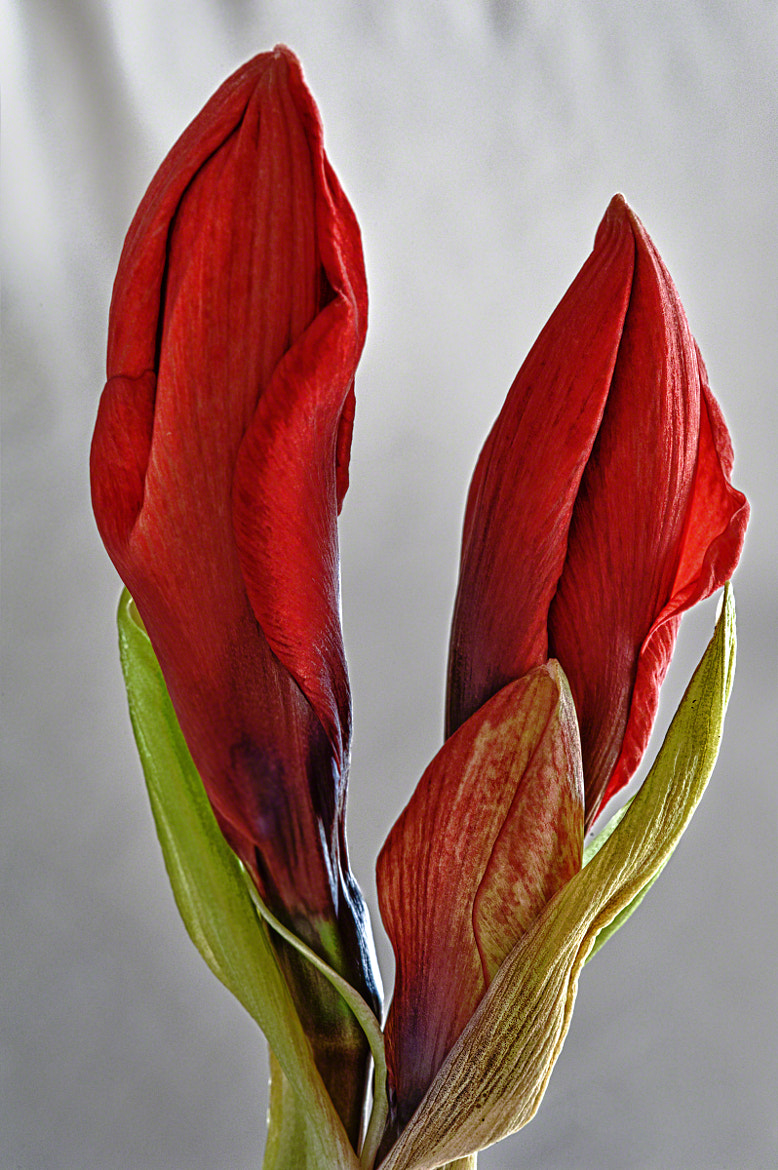 Photograph HDR – Budding Amaryllis by Mark Neal on 500px