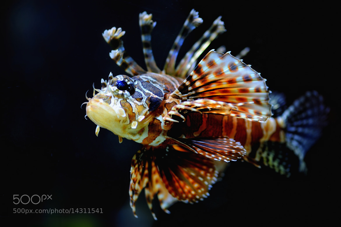Photograph Broadbarred Firefish by Josef Gelernter on 500px