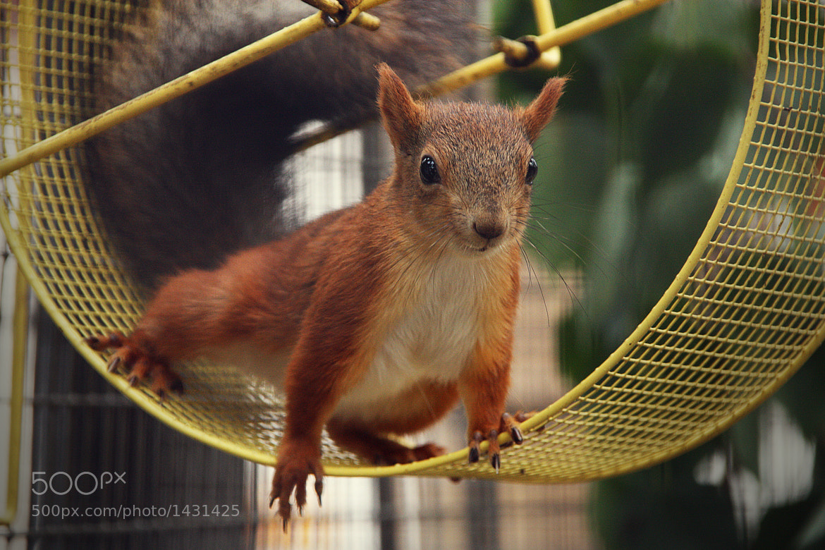Photograph Squirrel by Victoria Antonova on 500px