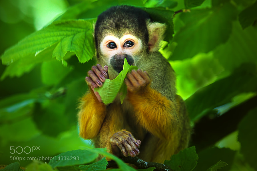 Little Monkey by Wim Bolsens