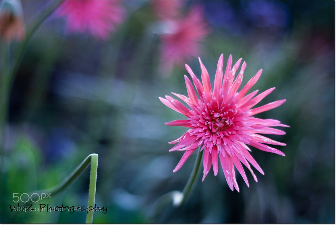 Photograph Daisy - have a great weekend! by Wendy Van Zyl on 500px