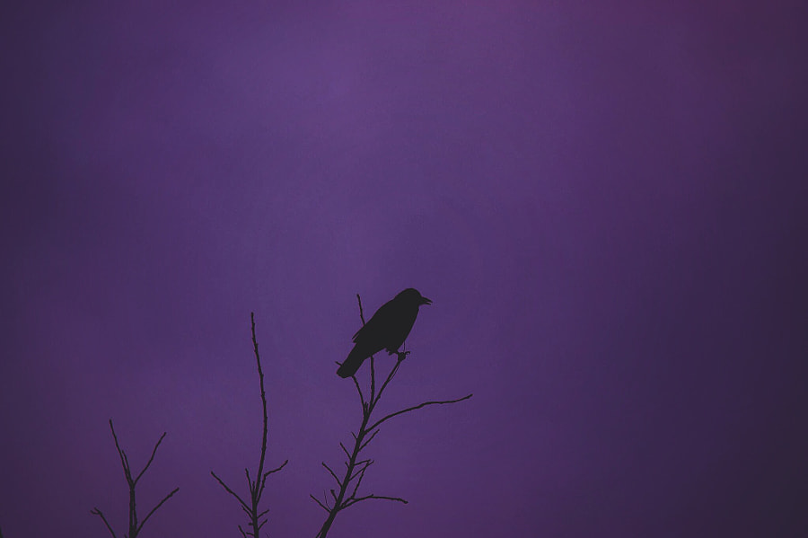Crow. by kieranbelanger on 500px.com