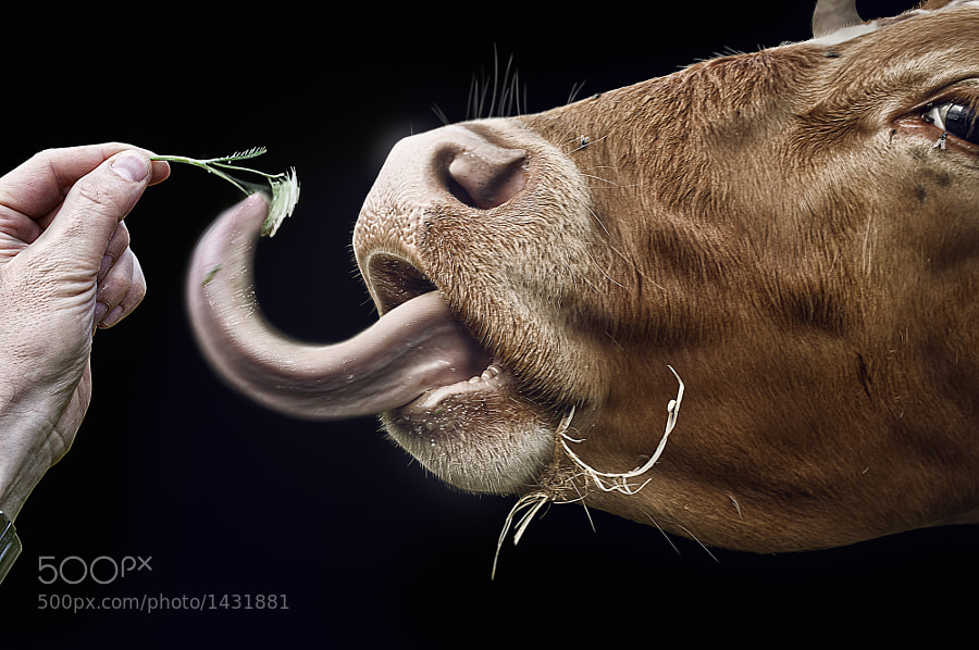 Photograph Chamelecow by John Wilhelm on 500px