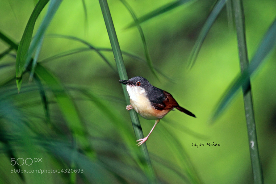 Photograph ASHY WREN-WARBLER by Jagan  on 500px