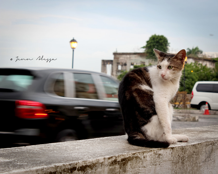 Photograph Regular City Cat by Jenn Alessa on 500px