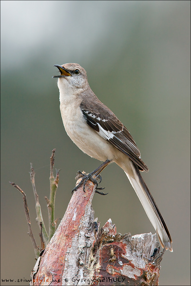 Photograph Northern Mockingbird (Mimus polyglottos) by Gyorgy Szimuly on 500px