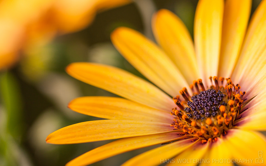 Photograph Yellow flower by Hans Woltering on 500px