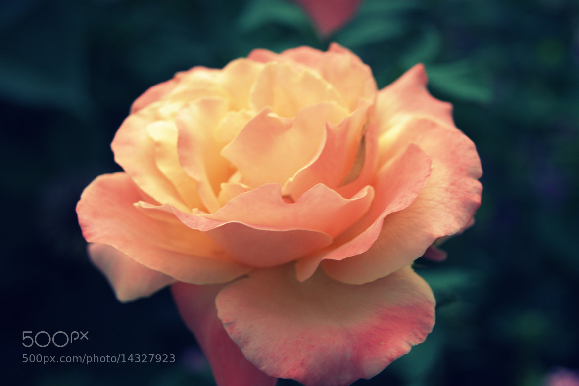 Photograph rose by Alexandra  on 500px