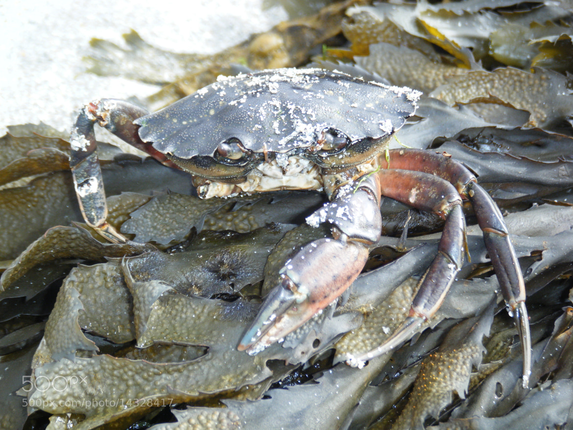 Photograph Green shore crab by James  Mcfadzean on 500px