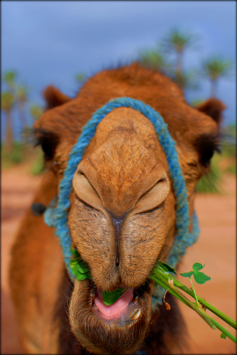 Photograph Camel by A J R on 500px