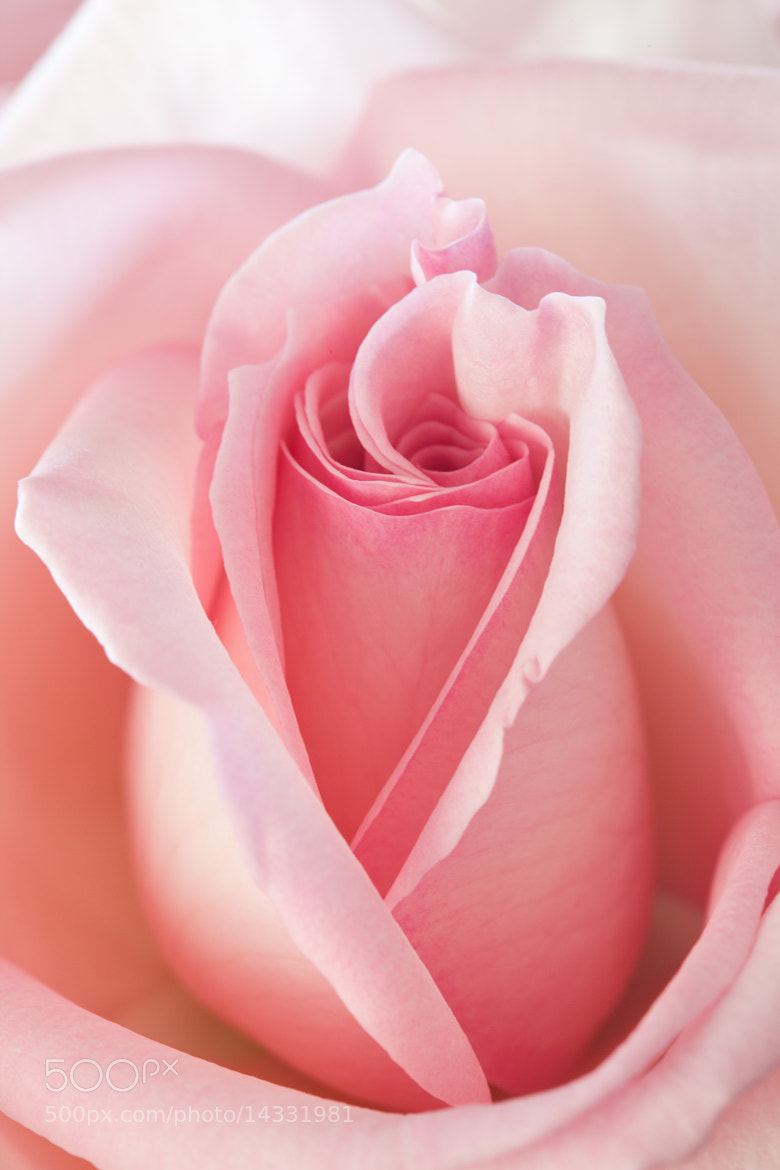 Photograph Pure pink by Victoria Stewart on 500px