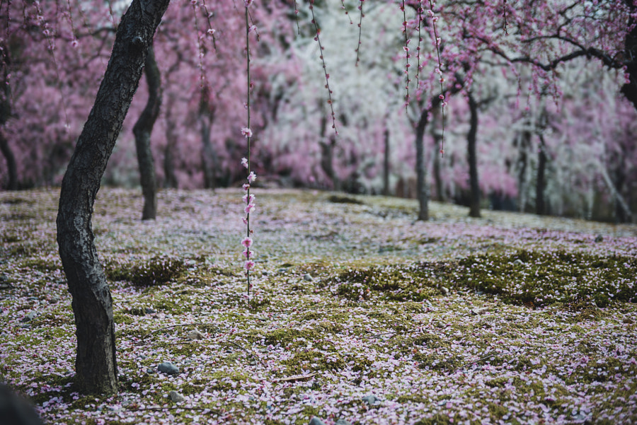 pink garden. by Miki Fujii on 500px.com
