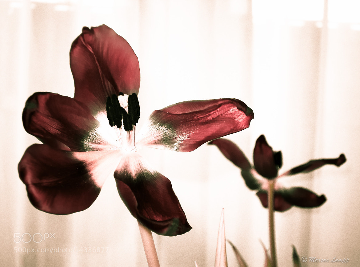 Photograph Tulip by Marcus Lumpp on 500px
