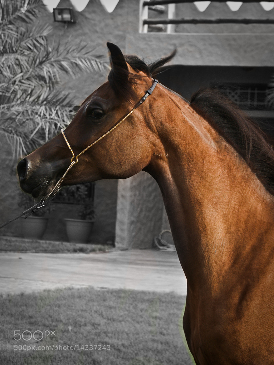 Photograph Arabic Horse by Muhanad Nassiri on 500px
