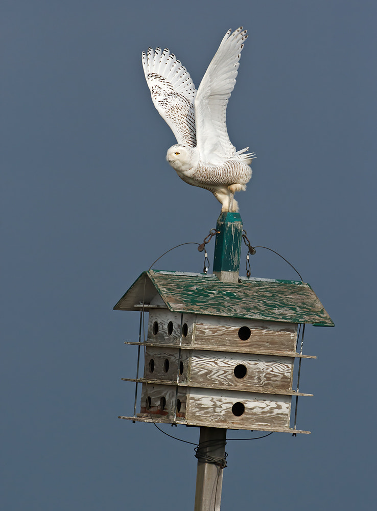 Photograph Snowy Owl Leaving the Purple Martin Motel by Marina Scarr on 500px